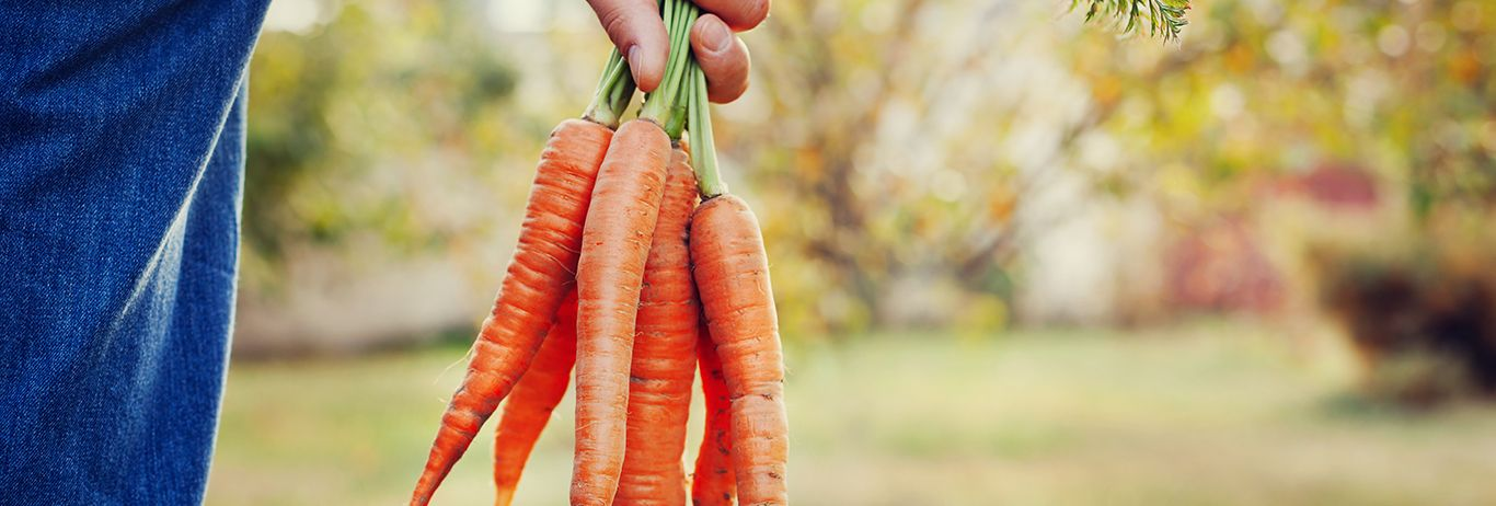 Farmer's hand holding a bunch of fresh carrots